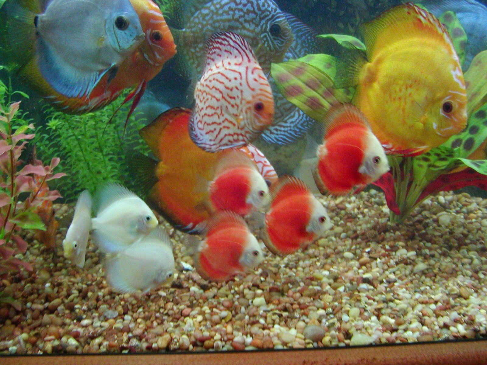 Discus fish image long jump discus throw for Diskus aquarium