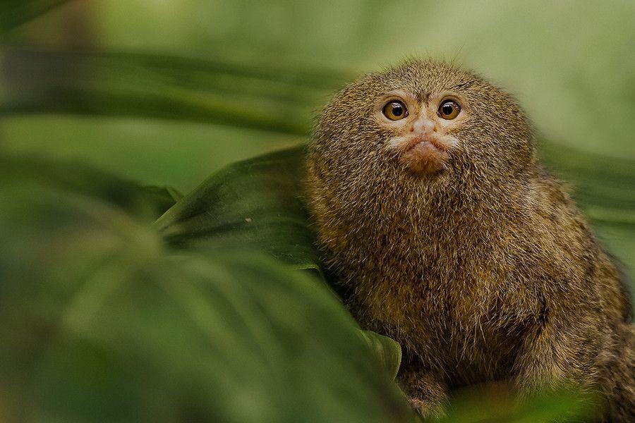 Pygmy Marmoset - Smallest Monkey in World by Baba Raw on 500px