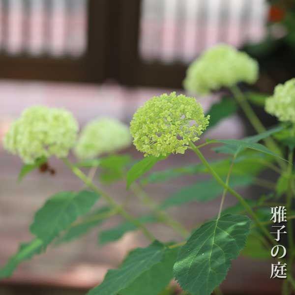 アナベルはアメリカアジサイ 植え替え 植物 分類 アジサイ