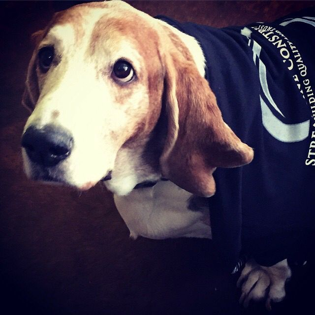 Leroy the basset hound ready for work.