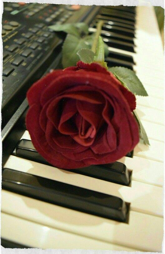 الحياة تشبة في ايامها آلة البيانو فالمفاتيح السوداء هي لحظات الحزن والمفاتيح البيضاء هي لحظات السعادة و كلاهما يعزفان معا ليكونا م Flowers Rose Plants