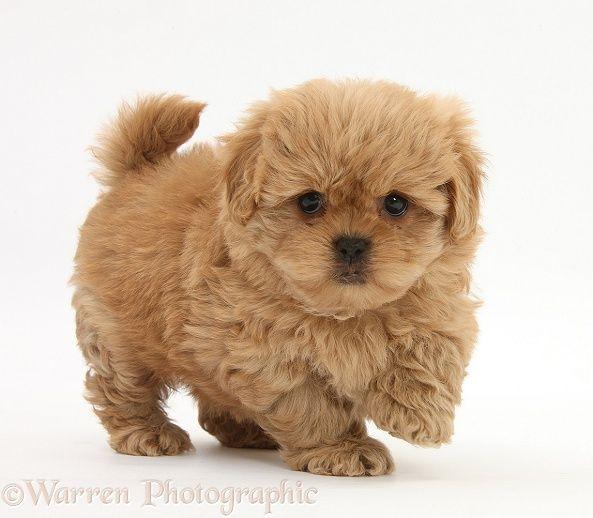 Dog Peekapoo Pup 7 Weeks Old Photo Cute Animals Puppies Pets
