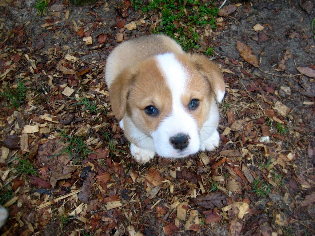 Oh Hai I M Just A Lil Corgi Corgi Puppy Eyes Cute Puppies