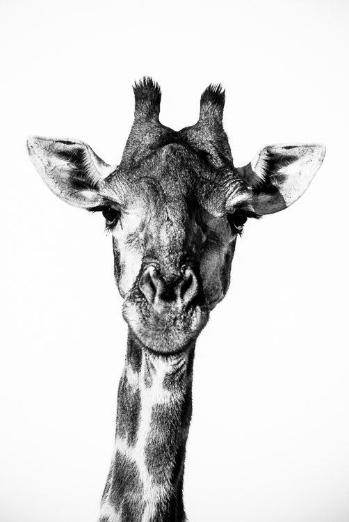 Giraffe Fine Art Photography - Wildlife Art - Modern Wall Art - Black and White Photo - Monochrome Wild Animal