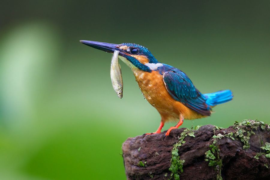 Kingfisher 4 by kantlawyer on 500px