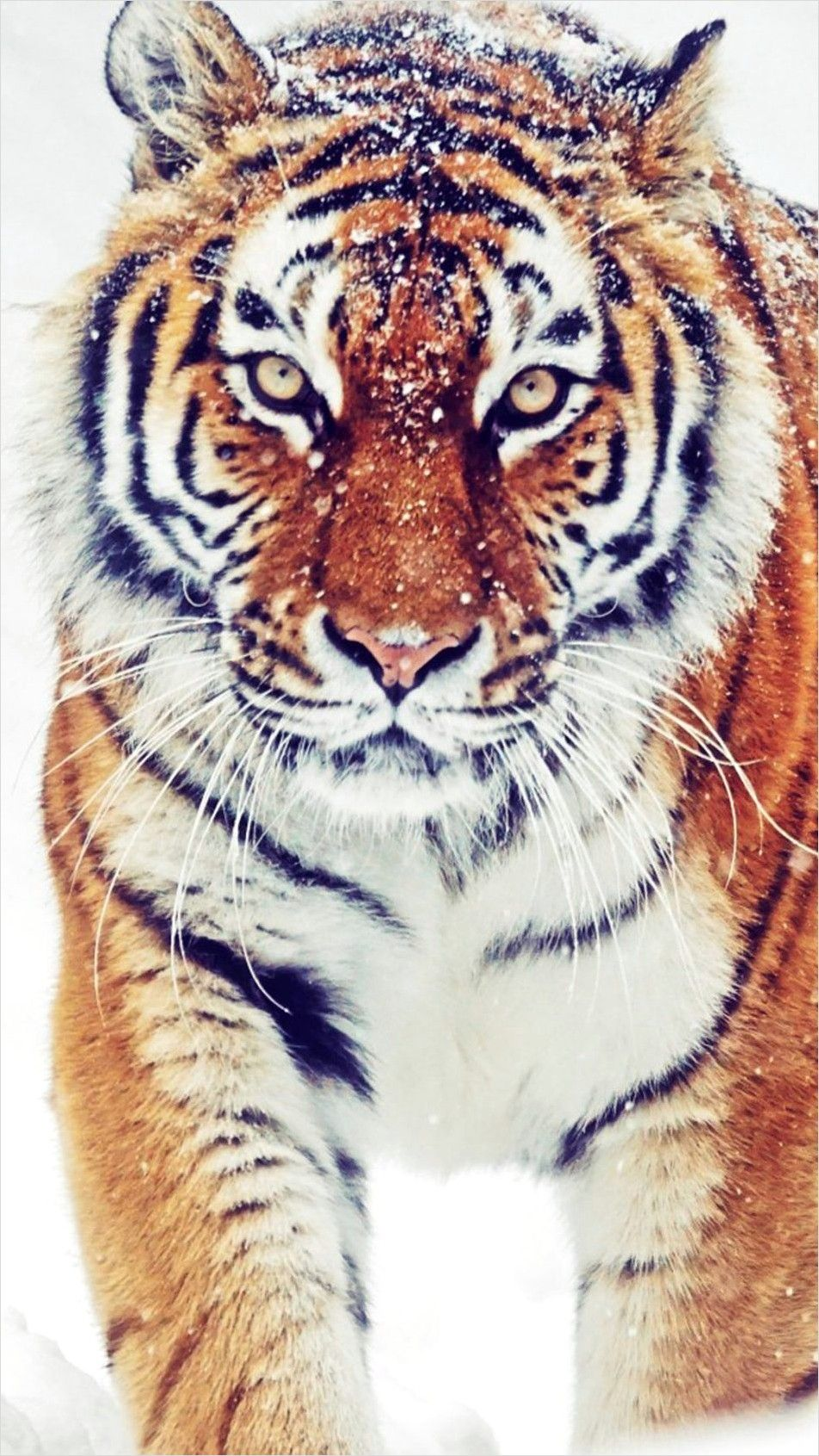 4k Animal Wallpaper For Mobile In 2020 Siberian Tiger Animal Wallpaper Tiger Wallpaper