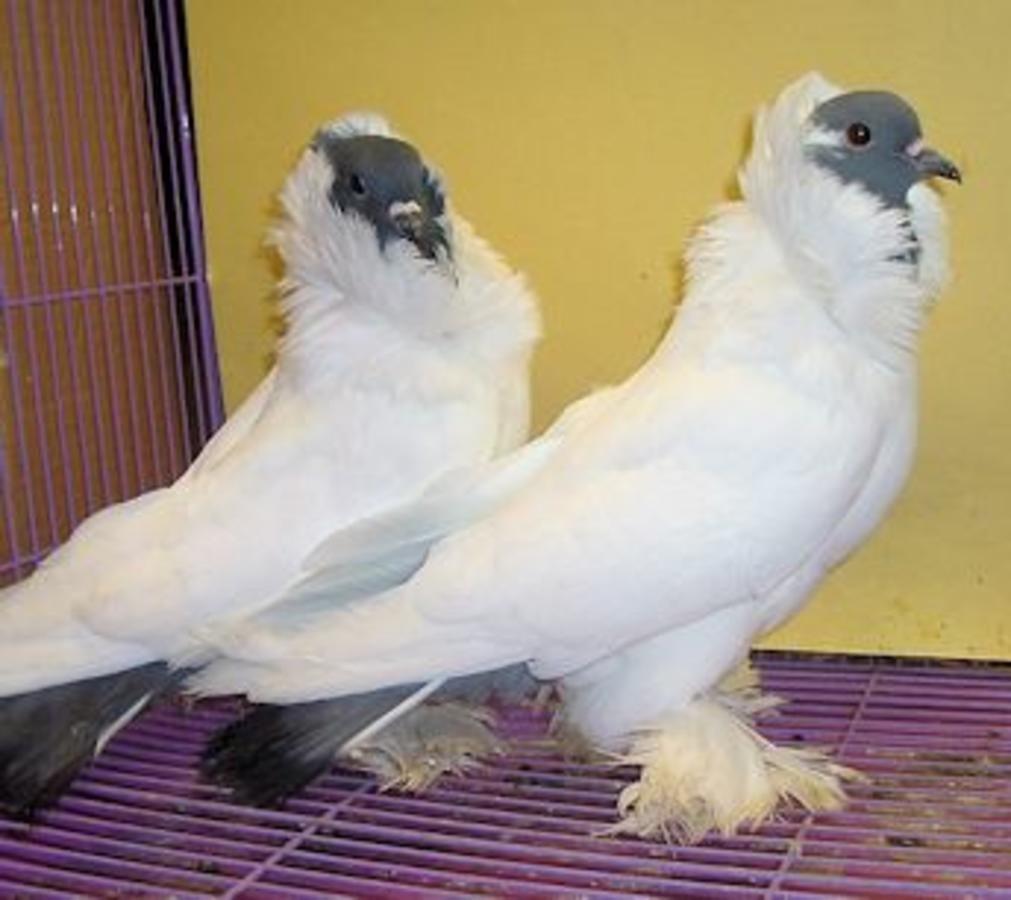 Schmalkalden Morehead Morehead Pigeon Animals