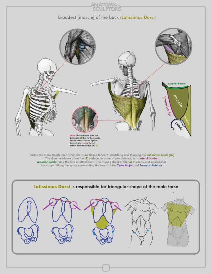 Latissimus Dorsi by anatomy4sculptors.deviantart.com on @deviantART ...
