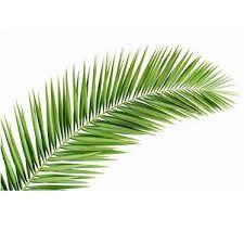 Resultado de imagen para hojas de palmeras
