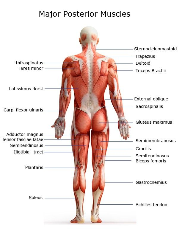 Major Muscles Of The Body Posterior The Body Muscles Pinterest
