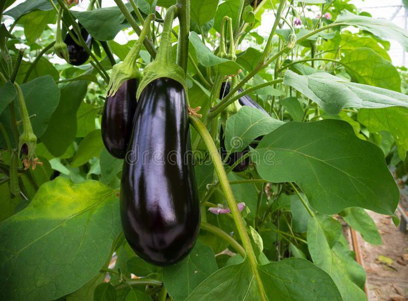 Eggplant In A Greenhouse Ripe Purple Eggplant Growing In A Greenhouse In The Ne Sponsored Cultivo Associado Cultivo De Hortalicas Beneficios Da Berinjela