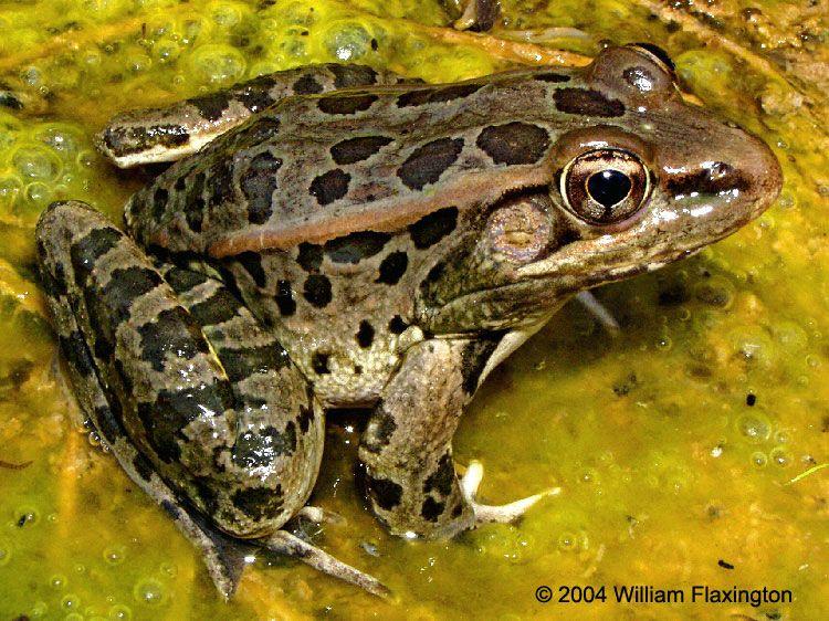 Rana (Lithobates) berlandieri. Rio Grande Leopard Frog.