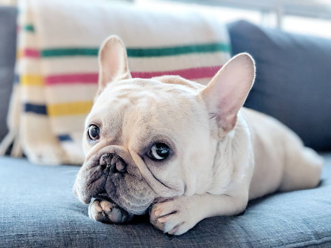 No You May Not Inspect Under My Chins For Forbidden Snacks Imsavingitforlater Frenchies Frenchie Frenchbulldog Frenchiegrams Hunde Susse Hunde Welpen