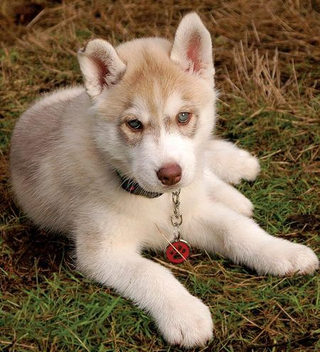 Imgs For Pitbull And Siberian Husky Mix Puppies Brown Husky Puppy Husky Puppy