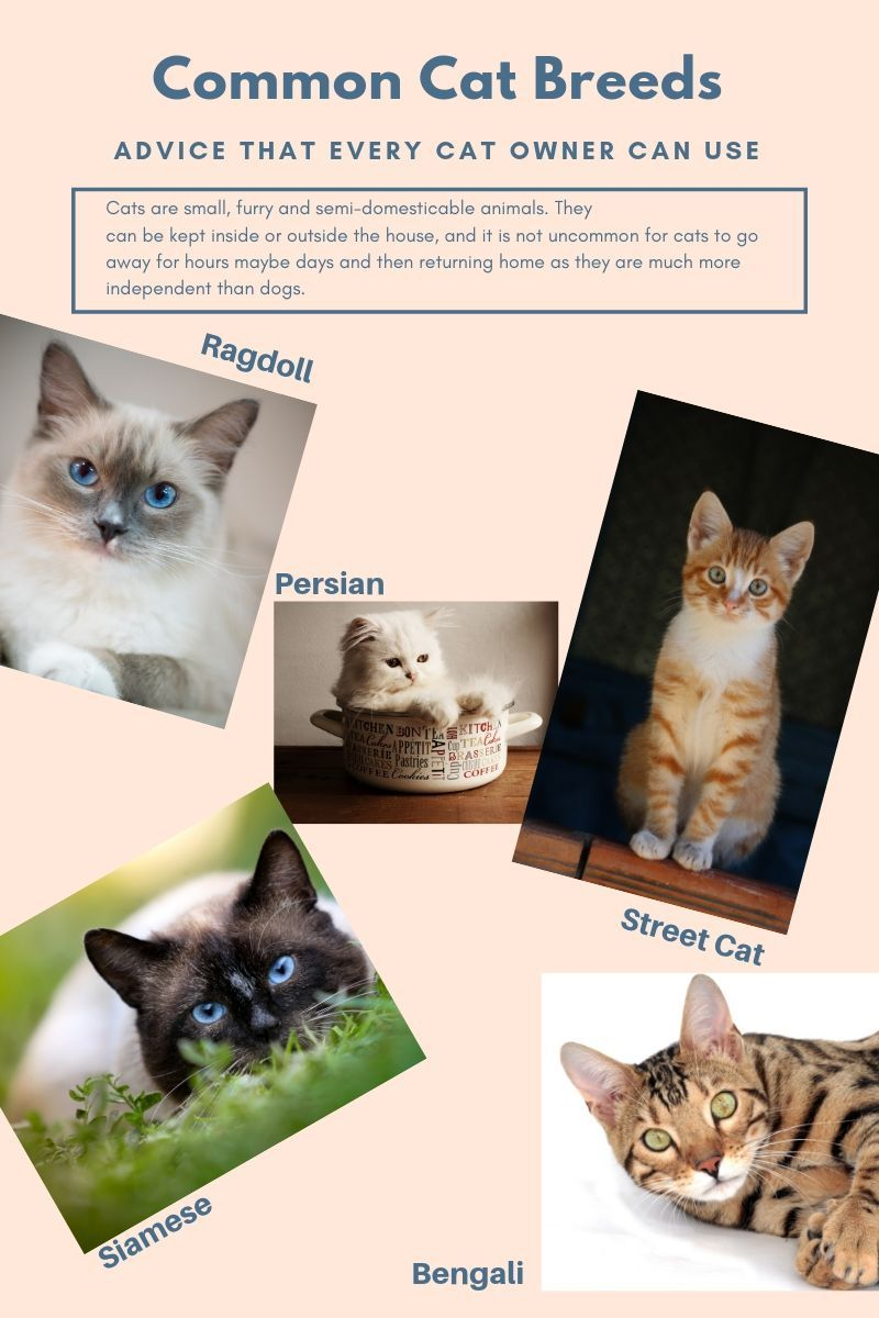 The Most Common Cat Breeds Cat Breeds Common Cat Breeds Cat Breeds Ragdoll