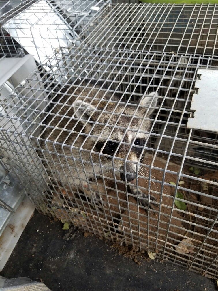 Raccoon caught in a live trap httpwww
