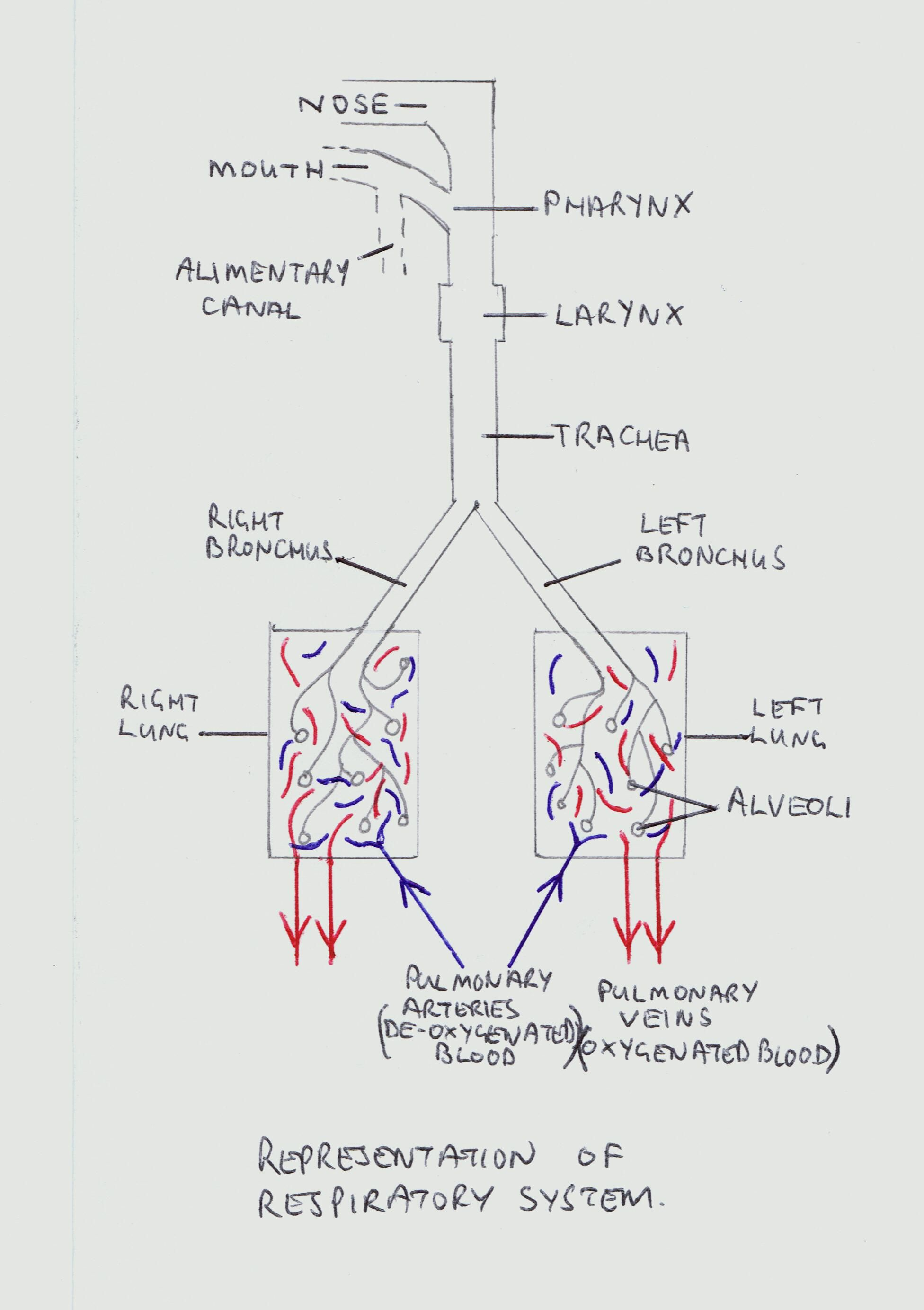 Lungs - The Respiratory System | Respiratory system, Lungs and ...