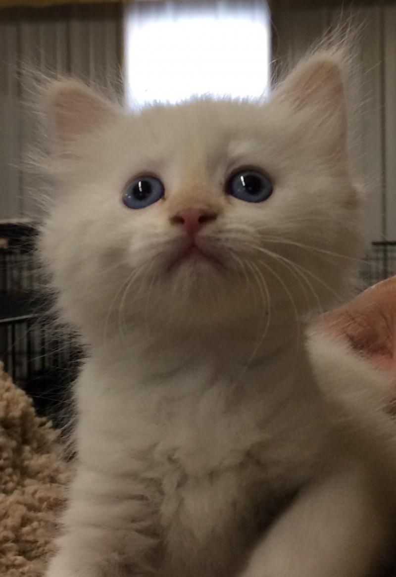 Adopt Snow on Kittens Pinterest Kittens, Pets and