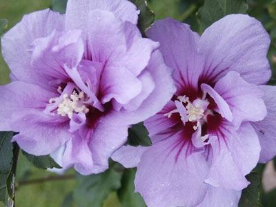 Rose Of Sharon Hardy Hibiscus Purple Hibiscus Rose Of Sharon