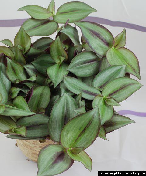 tradescantia zebrina zimmerpflanzen pinterest. Black Bedroom Furniture Sets. Home Design Ideas