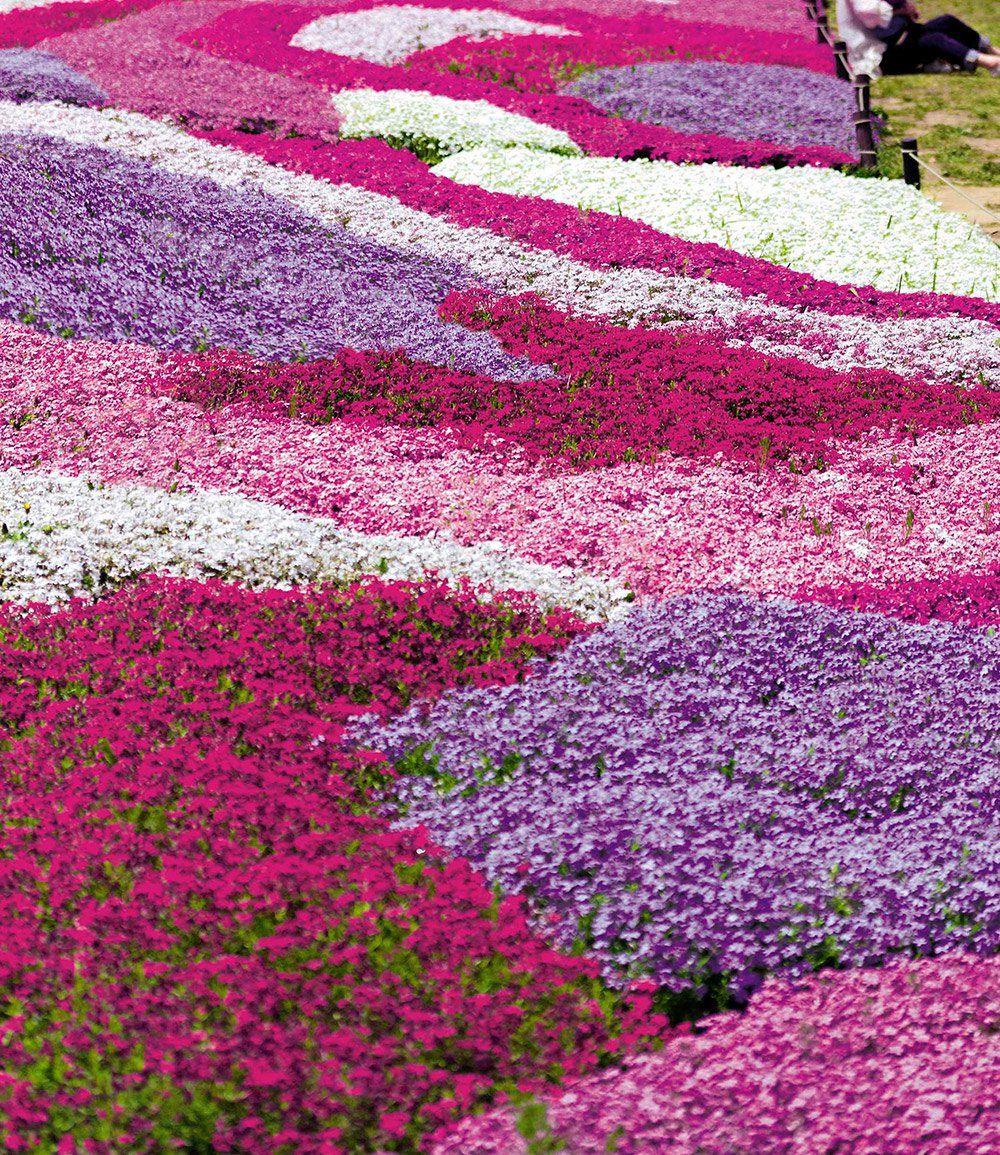 Phlox Mix Flowers Of The Sea Top Qualitat Baldur Garten Winterharte Pflanzen Garten Pflanzen Bodendecker