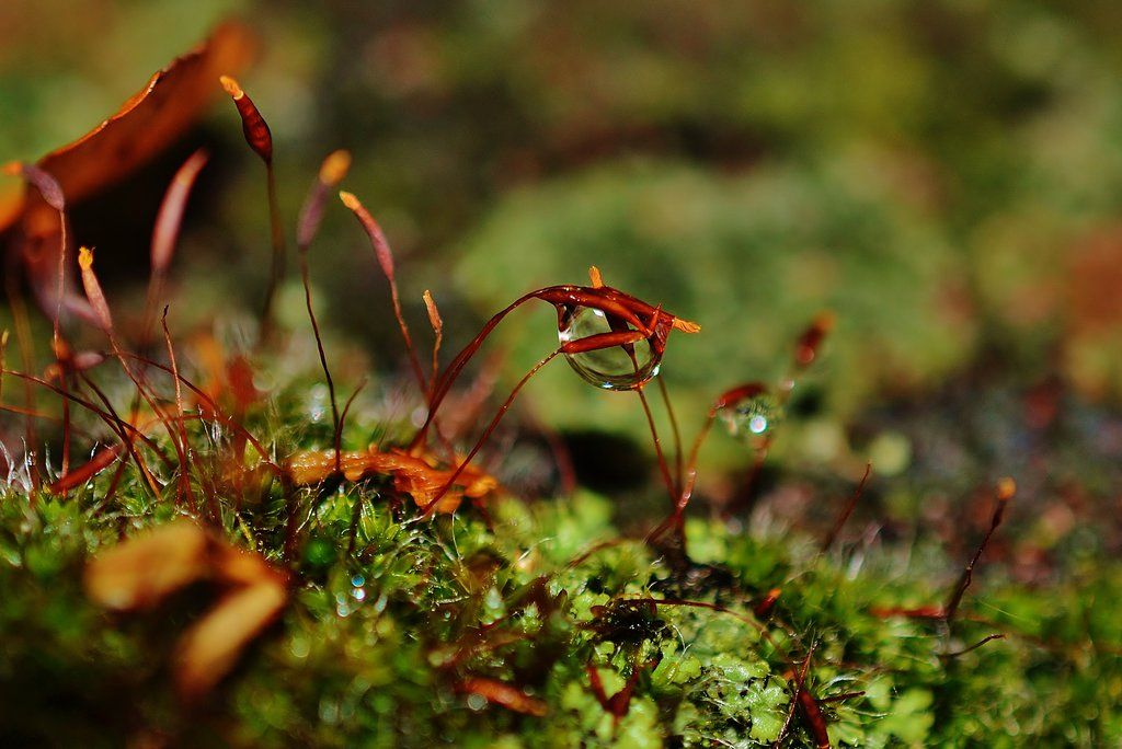 Moss, Sporophytes and Raindrop by PsychodelicMess.deviantart.com on @deviantART