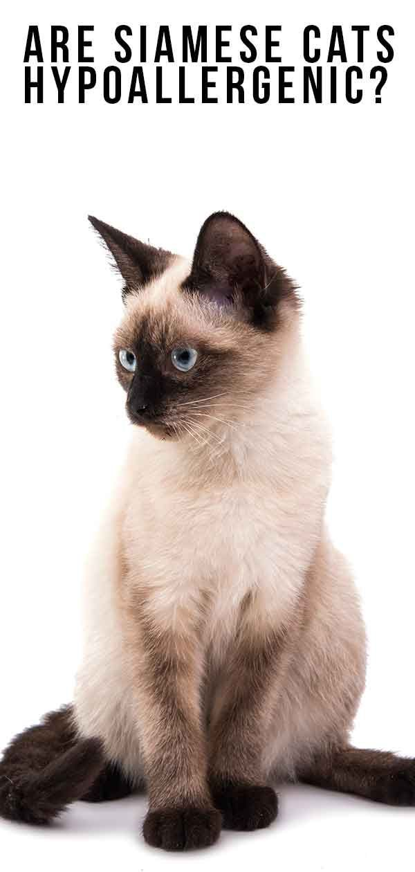 Are Siamese Cats Hypoallergenic And How Much Do They Shed