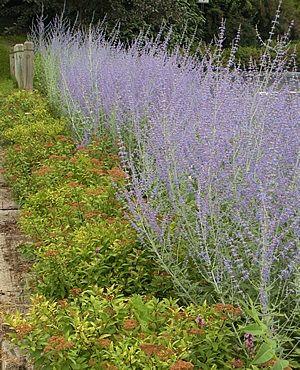 Perovskia Russian Sage Zone 4 9 Exposure Sun Bloom Time Summer Fall Height 24 Features Attracts Erflies Deer Resistant