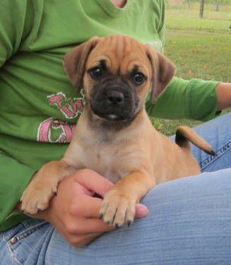 6 Week Old Puggle Puppy Dog Breeds Designer Dogs