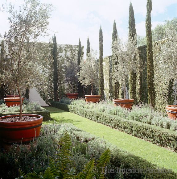 Olive trees in terracotta pots creeping fig and cypress trees gardening pinterest garden Olive garden citrus heights ca