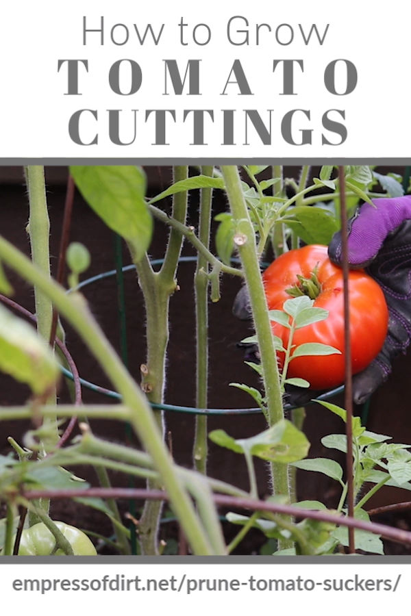 Learn How to Root Tomato Cuttings -   19 planting Vegetables backyards ideas