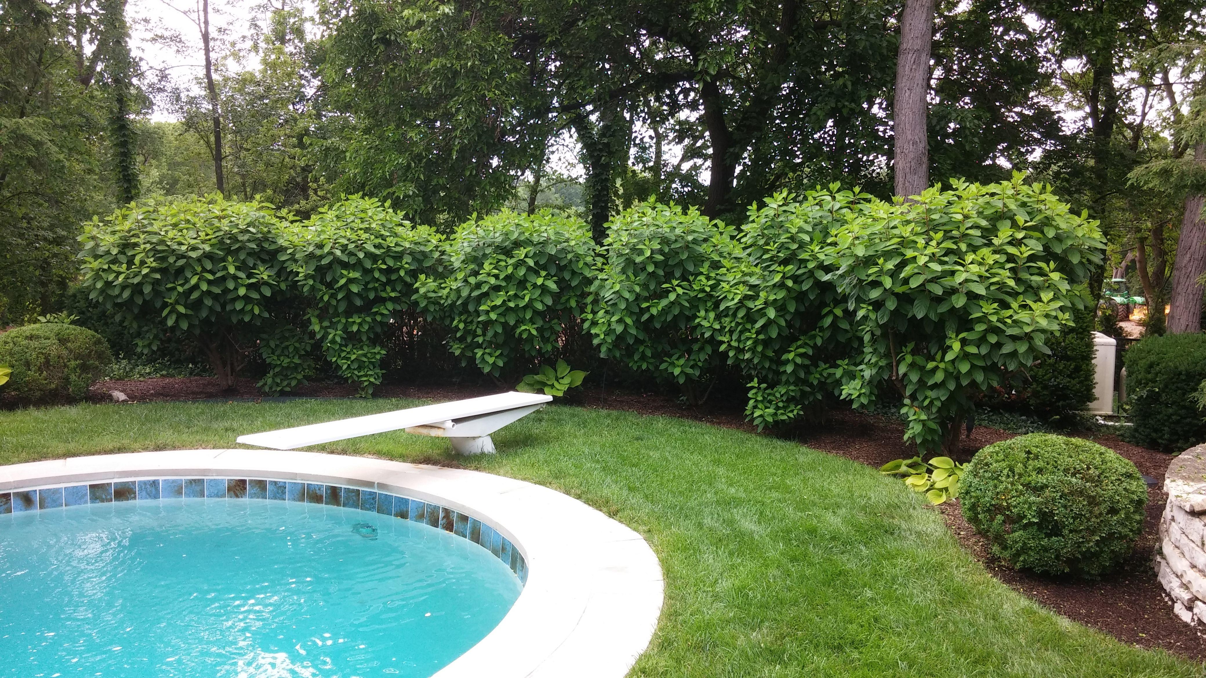 An Attractive Row Of Tardiva Hydrangeas Creates Privacy Around