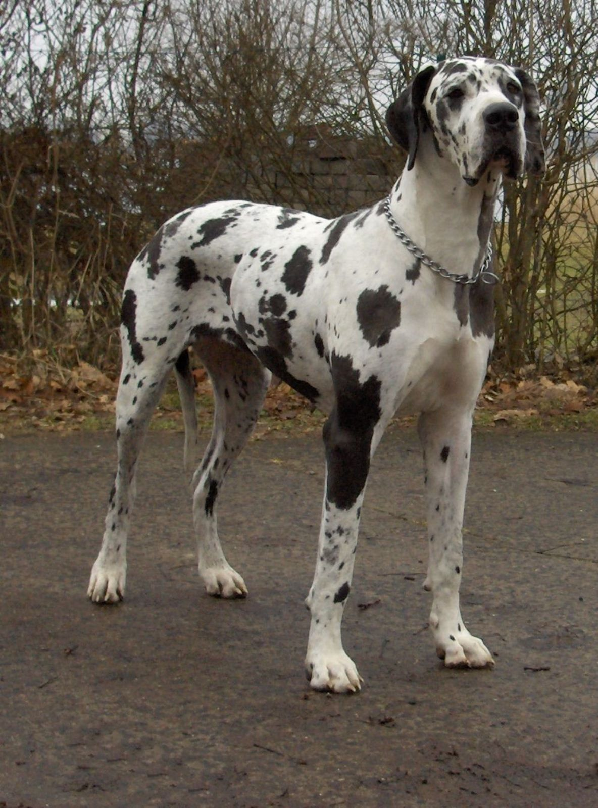 25 Great Dane Pictures Gallery Cute Dogs Largest Mastiff Breeds