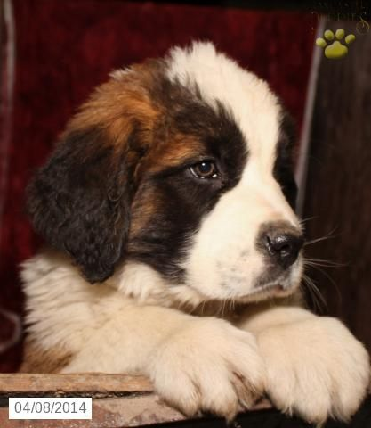 Saint Bernard Puppy For Sale In Pennsylvania St Bernard Puppy St Bernard Dogs Bernard Dog