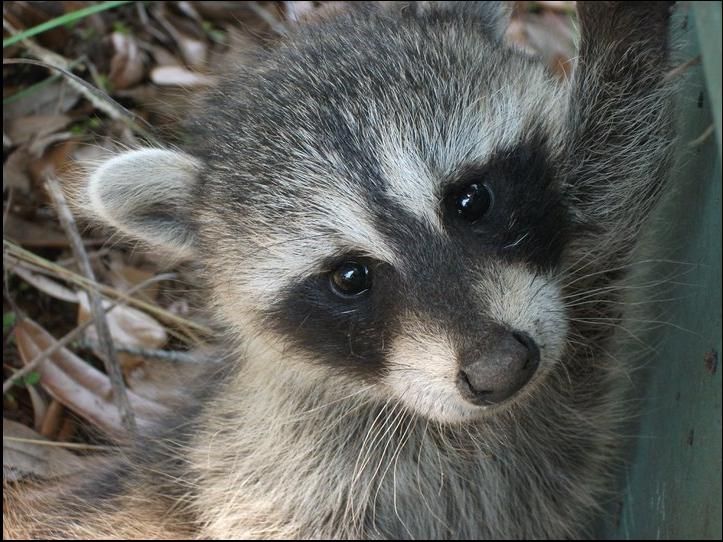 Your Rhode Island Wildlife Removal Co New England Wildlife Baby Animals Raccoon Animals