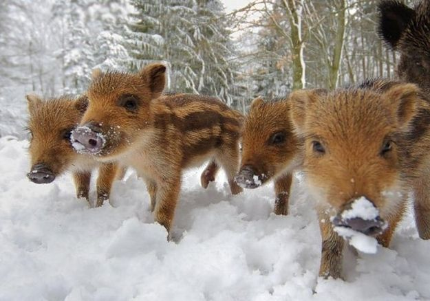 Image result for cute boar