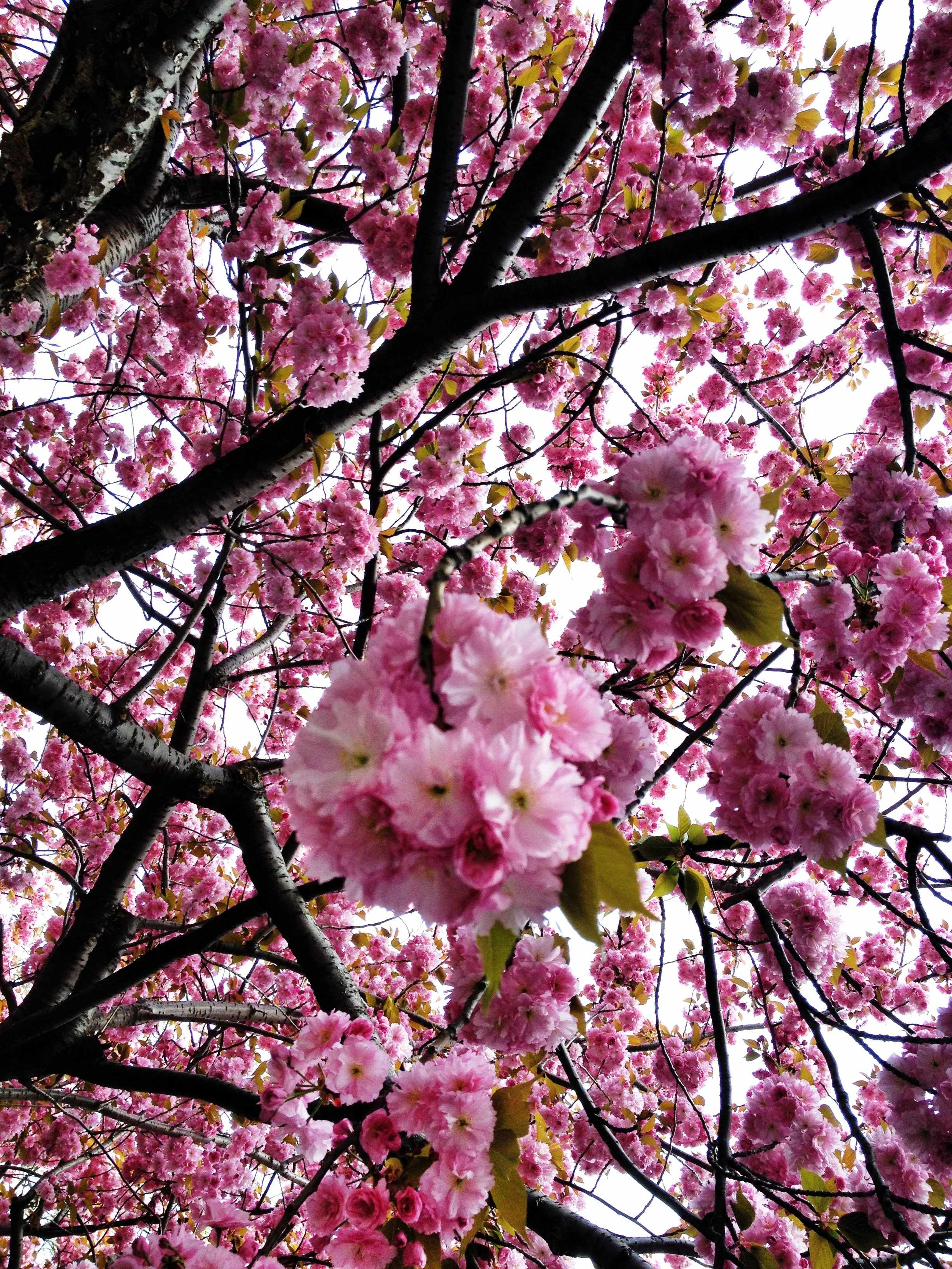 Pin By Jane Bohan Jewelry On Favorite Things Japanese Tree Cherry Blossom Garden Trees