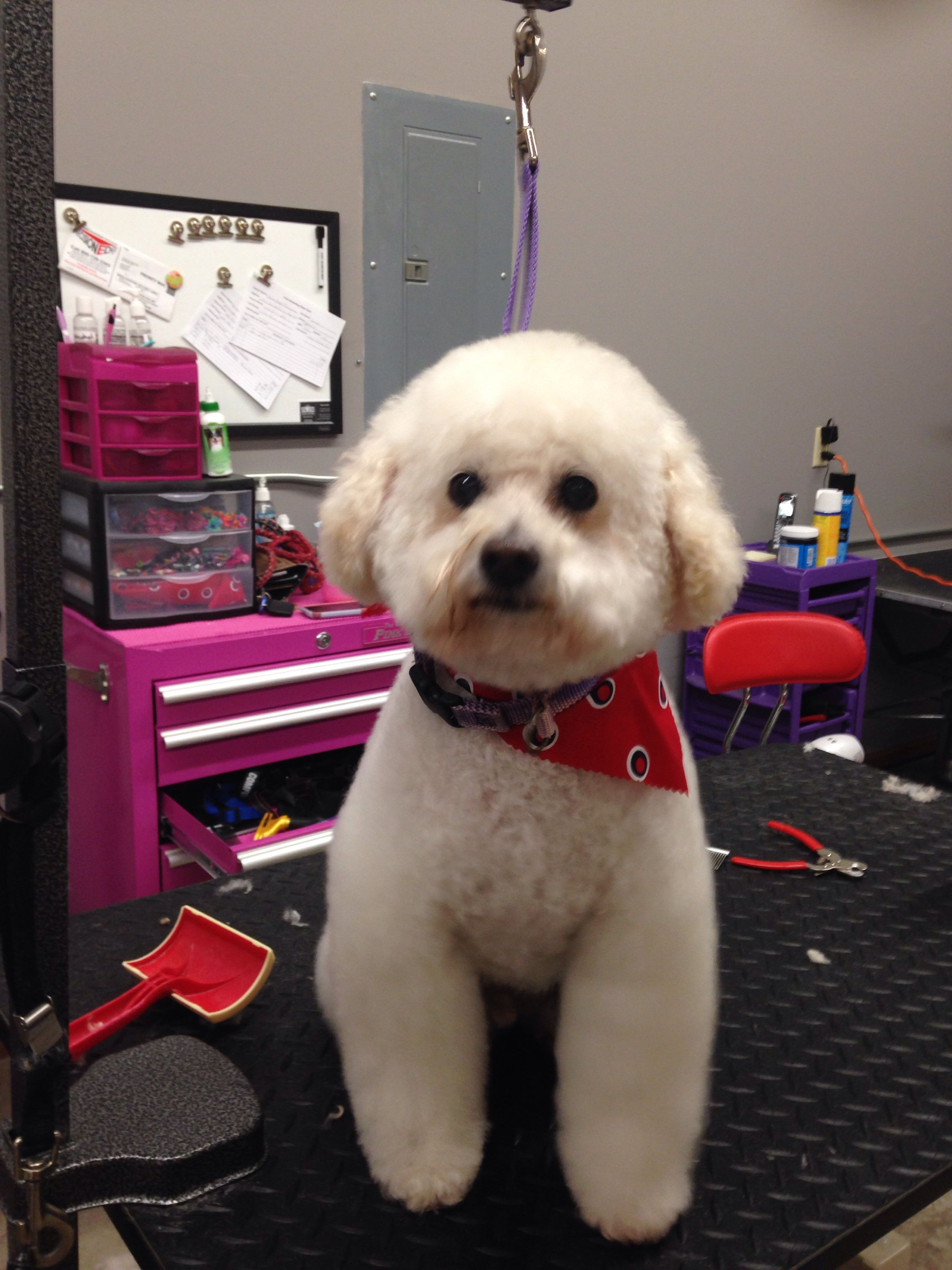 Bear!!!! Frost Grooming, groomer was Veronica! Cute dogs