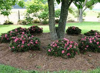 Chinzan Dwarf Azalea Azalea Satsuki Chinzan 1 Gallon Shrubs For Spring Color Azaleas Landscaping Dwarf Azaleas Landscaping Around Trees