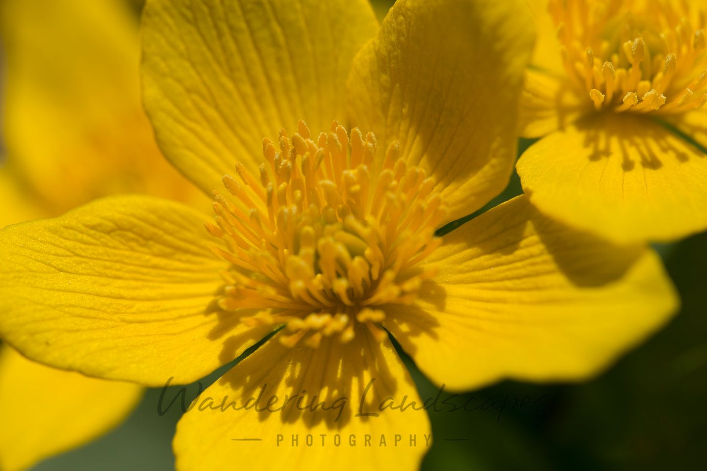 Wisconsin Wildflowers Marsh Marigold