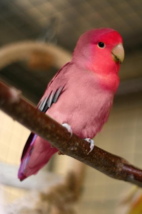 Agaporni Roseicolli Looks Like One Of My Lovebirds Took A Bath In Koolaid