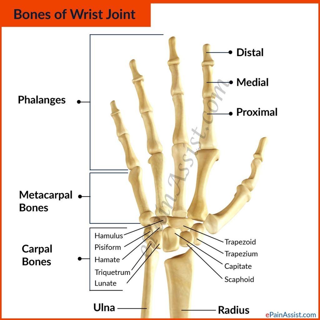 Pin About Wrist Anatomy On Bones