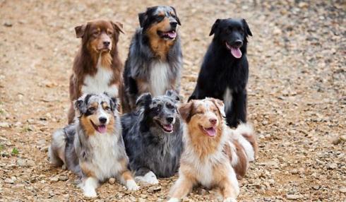 Berger Australien Tout Sur La Race De Chien Berger Australien Aussie Dogs Sheep Dog Puppy Australian Shepherd Dogs