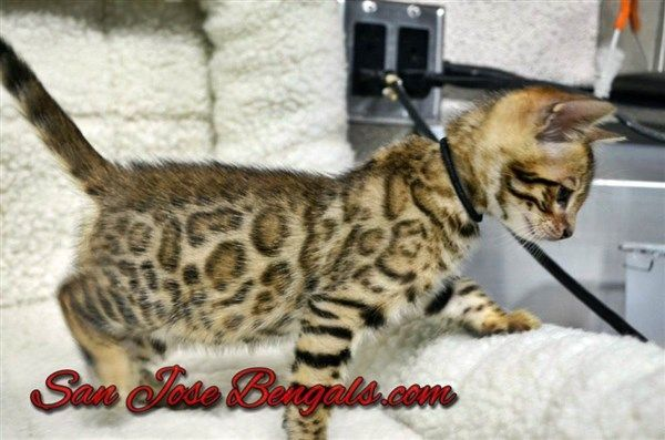 a6d0af10ef San Jose Bengal Cats is the world leader of Bengal breeding! View available Bengal  kittens for sale