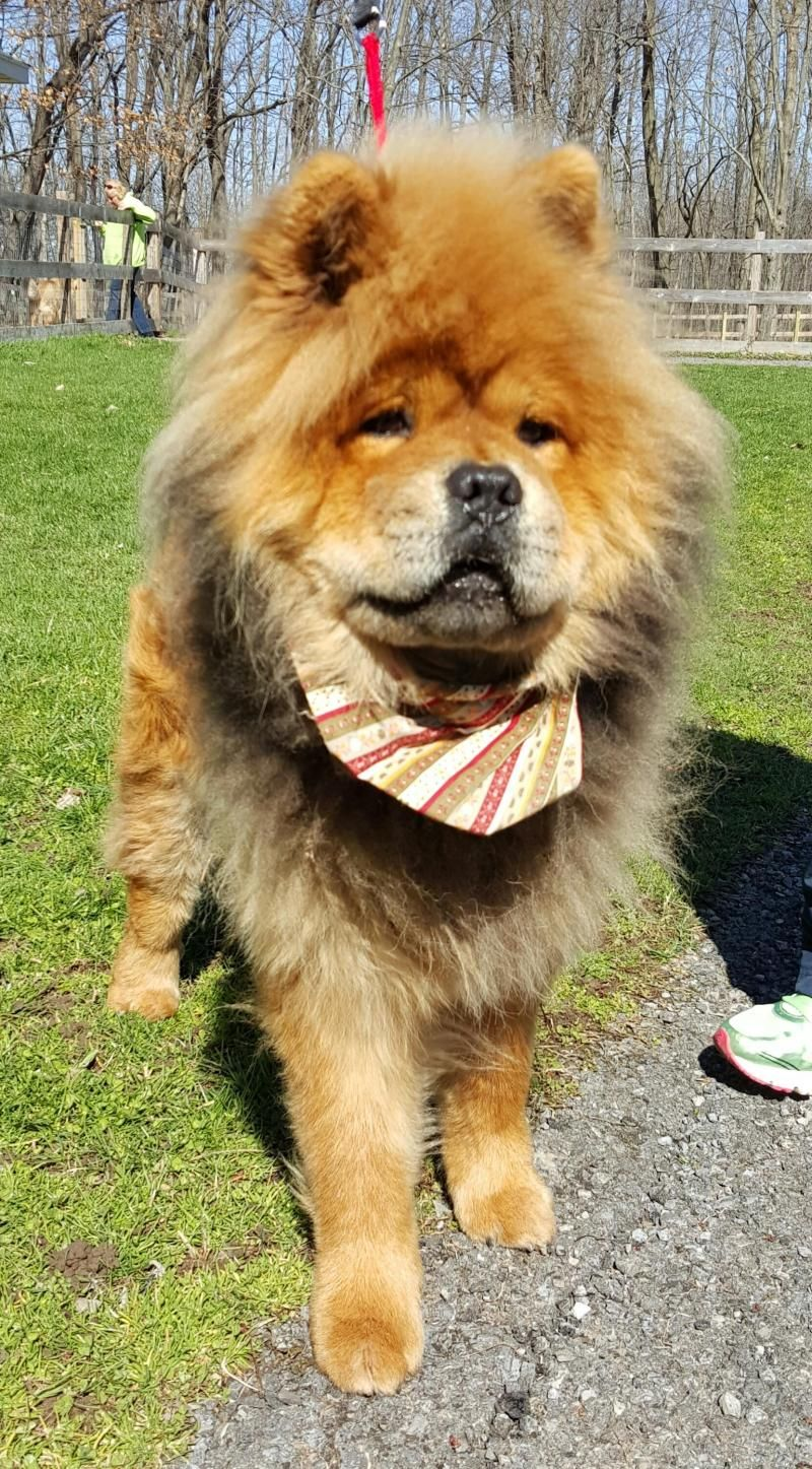 Meet Carter An Adoptable Chow Chow Looking For A Forever Home If