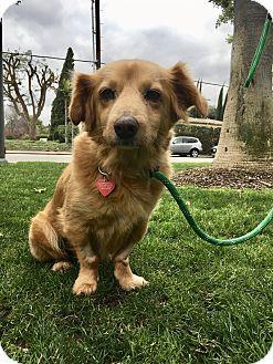 Golden retriever puppy los angeles