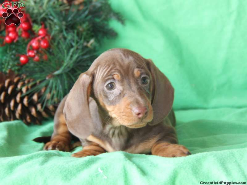 Penny Dachshund Puppy For Sale in Pennsylvania Puppies