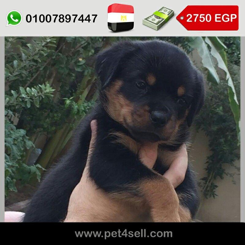 مصر القاهرة روت وايلر مستوردين جمجمة ضخمة بوز قصير خشب عريض اب و