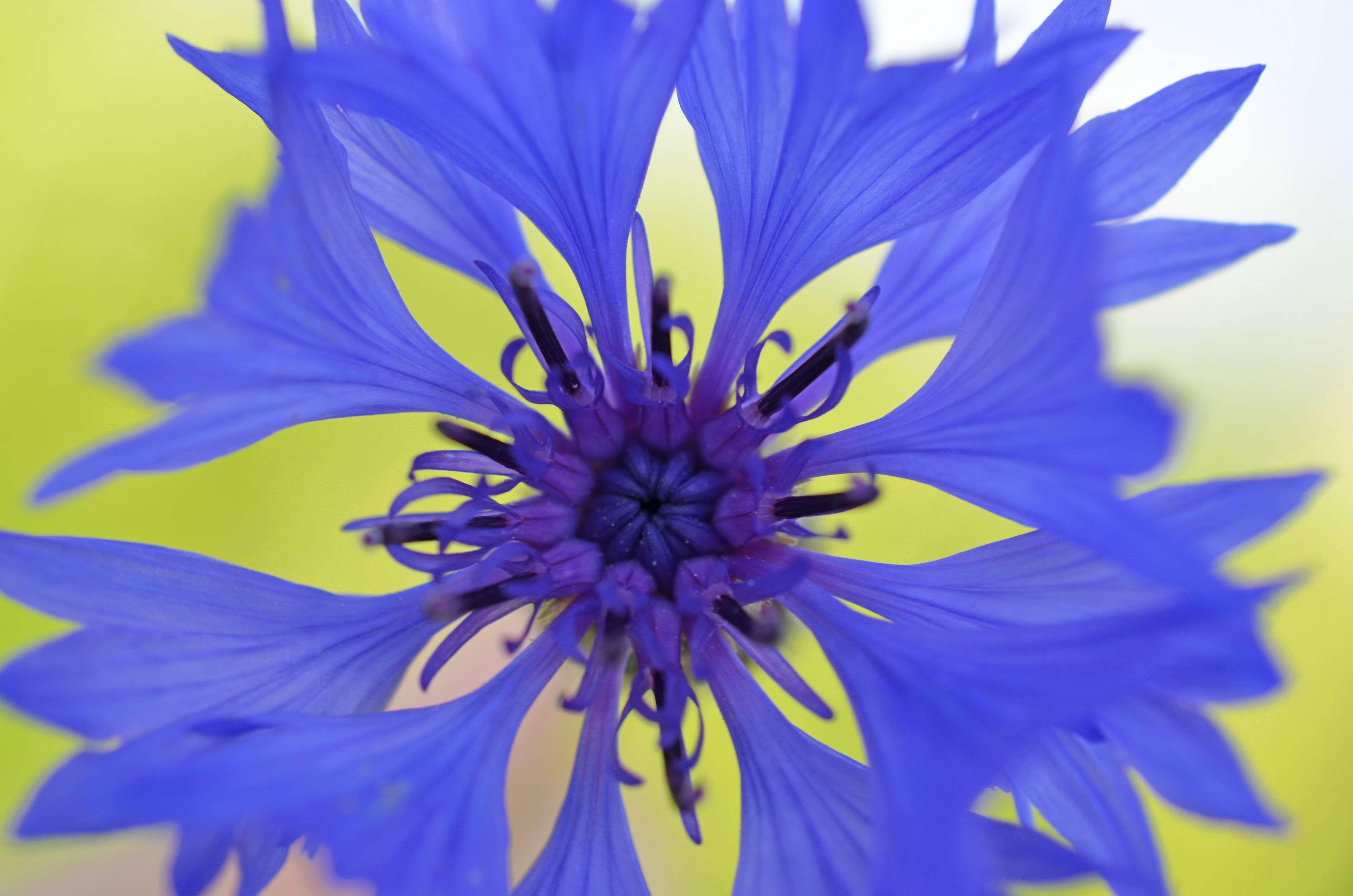 Bloom Blossom Blue Blue Violet Centaurea Cyanus Color Cornflower Flower Nature Plant Royalty F British Wild Flowers Flower Images Flower Images Free