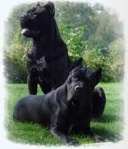 Cane Corsos Cane Corso Cane Corso Dog Italian Mastiff Pets